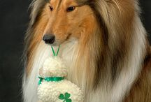 Byron / Rough collie