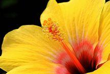 hibiszkuszok / hibiscus