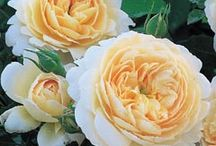Roses / Collection of Roses from my world and friends I learn from on Social Networking.