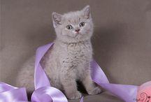 British Shorthair Cattery ILIOS CATS / British Shorthair Cattery Ilios Cats offers kittens - www.ilioscat.ru