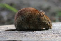 Reference: Vole
