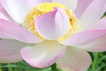 Lotus in Cambodia / For all, who love Lotus-Flowers :)
