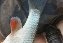 Squalius cephalus (turpa) / chub, fish, detection