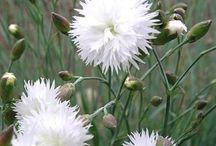 New England White Garden / Sun & Shade Cold Tolerant