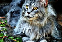 Maine coon cats / Chats
