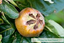 Fig, Medlar, Quince and Kiwi Trees / Bareroot fruit trees are cheap, healthy, easy to handle and have strong root systems that establish rapidly. We carefully select our rootstocks and budwood before grafting, and are proud of our quality trees. Have you already tried your hand at growing popular orchard and garden fruit trees? Has the thought already crossed your mind about growing something a little more peculiar, yet still a beautiful addition to the garden, and easy to care for?