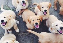 Labrador & Golden Retriever