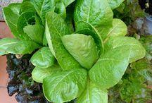 Huerto casero / Huerto Casero, una forma de cosechar tus propias hortalizas