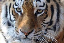 Tigres e outros gatos