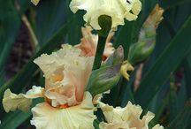 Flowers ~ Iris
