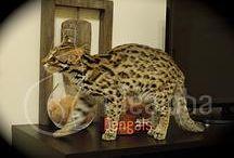 Asian Leopard Cats / Our gorgeous Asian Leopard Cats, Amon & Temi