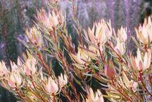 Australian Native Garden Ideas