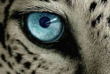 Snow Leopard / animals