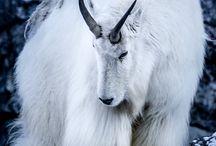 Kozy, kózki, owieczki