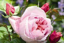 roze 2