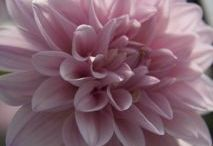 Skyline flowers/Dahlia yr round