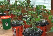 Grow tomatoes mm...
