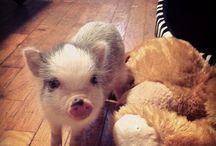 Mini piglet