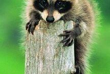 Raccoons / by Sydney Vegezzi