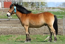 Gotland Pony / country of origin - Sweden | average height 116-132 cm | colours - black, bay/brown, chestnut, dilutes (cream), splash white pattern | uses - childern's mount, harness racing