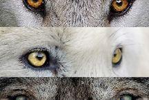 el color de los ojos en los lobos