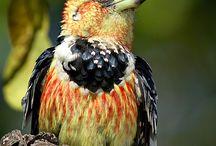 Crested Barbet Kuifkophoutkapper