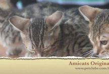 Gatos Gigantes e Bengal Amicats