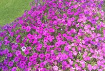 Flower bed colour fade