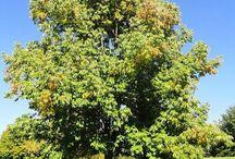 Oleaceae