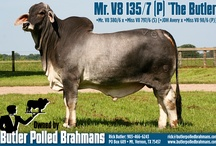Polled Brahman Cattle / Butler Polled Brahmans is a Pioneer in the development of the Polled American Brahman Breed with ranches located in Mt. Vernon, Tx. and Grant, Ok.