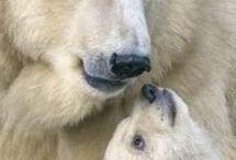 Bear's - Medvék
