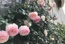 バラROSES / 狭い庭に地植えとポットと組み合わせてバラと他のプランツを育てています。
