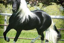 Lovak, pónik, szamarak, öszvérek, zebrák/Horses, ponies, donkeys, mules, zebras