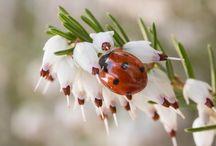 Ladybug / ladybugs