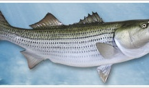 Saltwater Fishmounts by Gray Taxidermy / The craftmanship is unmatched in the industry which is why Captains around the world turn to Gray's to mount their fish. Our company has been in the marine taxidermy business for over 50 years, giving us the knowledge and experience to create a trophy fishmount of a lifetime. We strive to craft your fish to resemble the way it was during the memorable day you caught it.