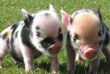 Piggiessssss Oink Oink