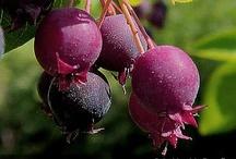 Berries Farming