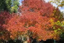 Fall Plant Selections / Get Ideas for adding fall color to the landscape.   Trees, shrubs and perennials