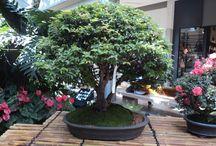 Bonsai / Técnica japonesa consistente en detener el crecimiento de los árboles mediante el corte de las raíces y la poda de ramas.