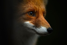 Foxes / by Ian Dillon