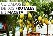 árboles frutales macetas
