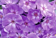 PHLOX / Phlox is a genus of 67 species of perennial and annual plants in the family Polemoniaceae. They are found mostly in North America in diverse habitats from alpine tundra to open woodland and prairie. Some flower in spring, others in summer and fall. Wikipedia