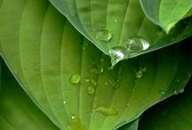 PLANT : Hosta
