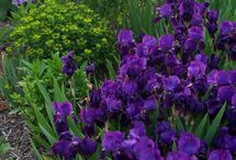 iris border