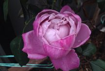 Flowers  / #myphotography