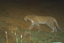Leopard Cameras / we have placed 4 motion sensor cameras on the farm with very exciting results......