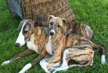 Twyborn whippets