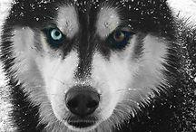 Husky,dogs,animals