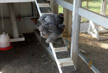 Chicken raising / by Barb Smith