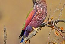 Birds of the world  - Rollers, ground rollers & kingfishers